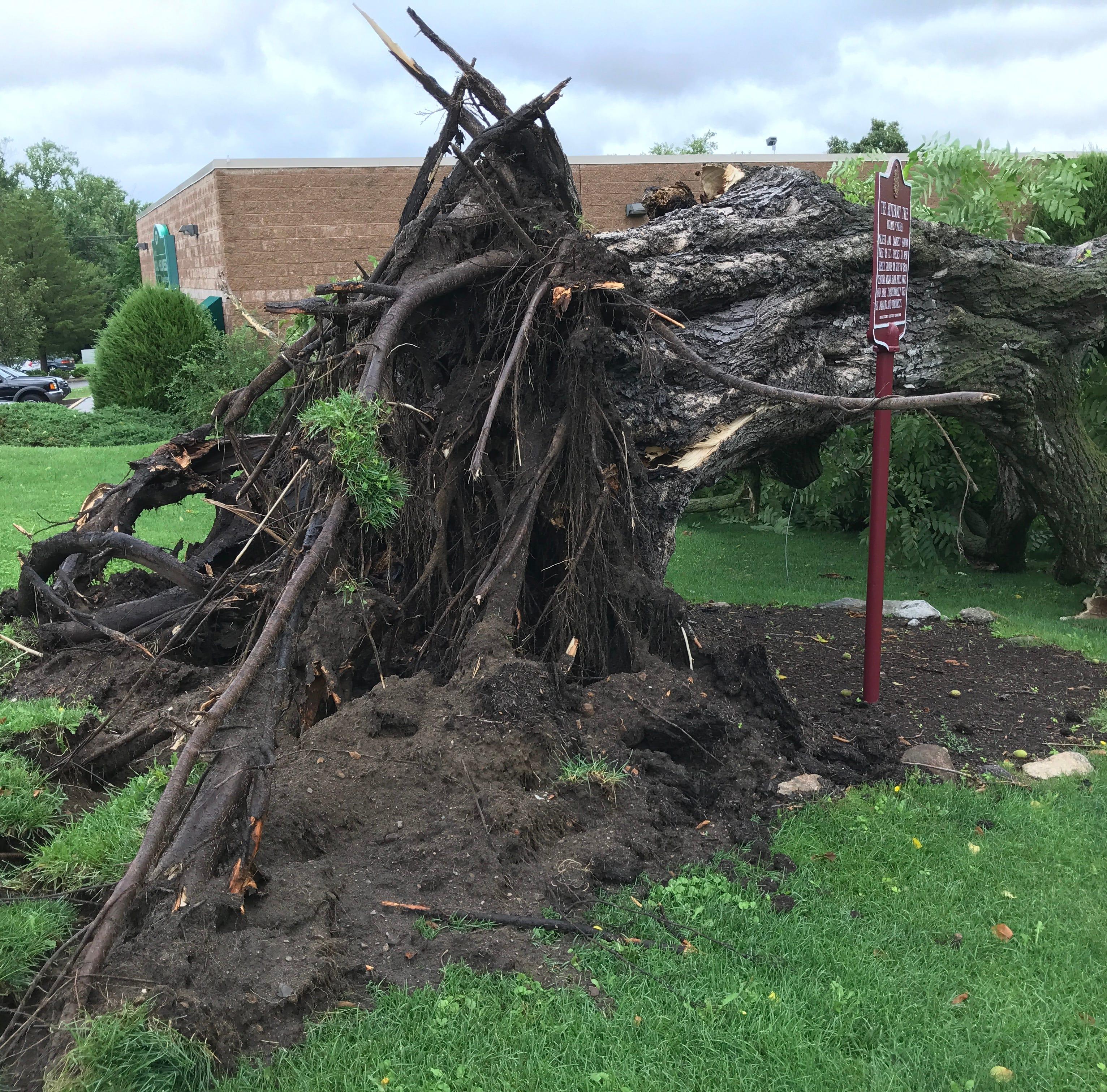 Largest, oldest butternut tree in New Jersey, beloved in Kinnelon, destroyed by storm