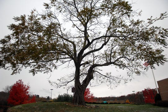 A file photo of the historic Butternut Tree from 2013 at Butternut Tree Plaza off Kakeout Road in Kinnelon. A storm toppled the tree.