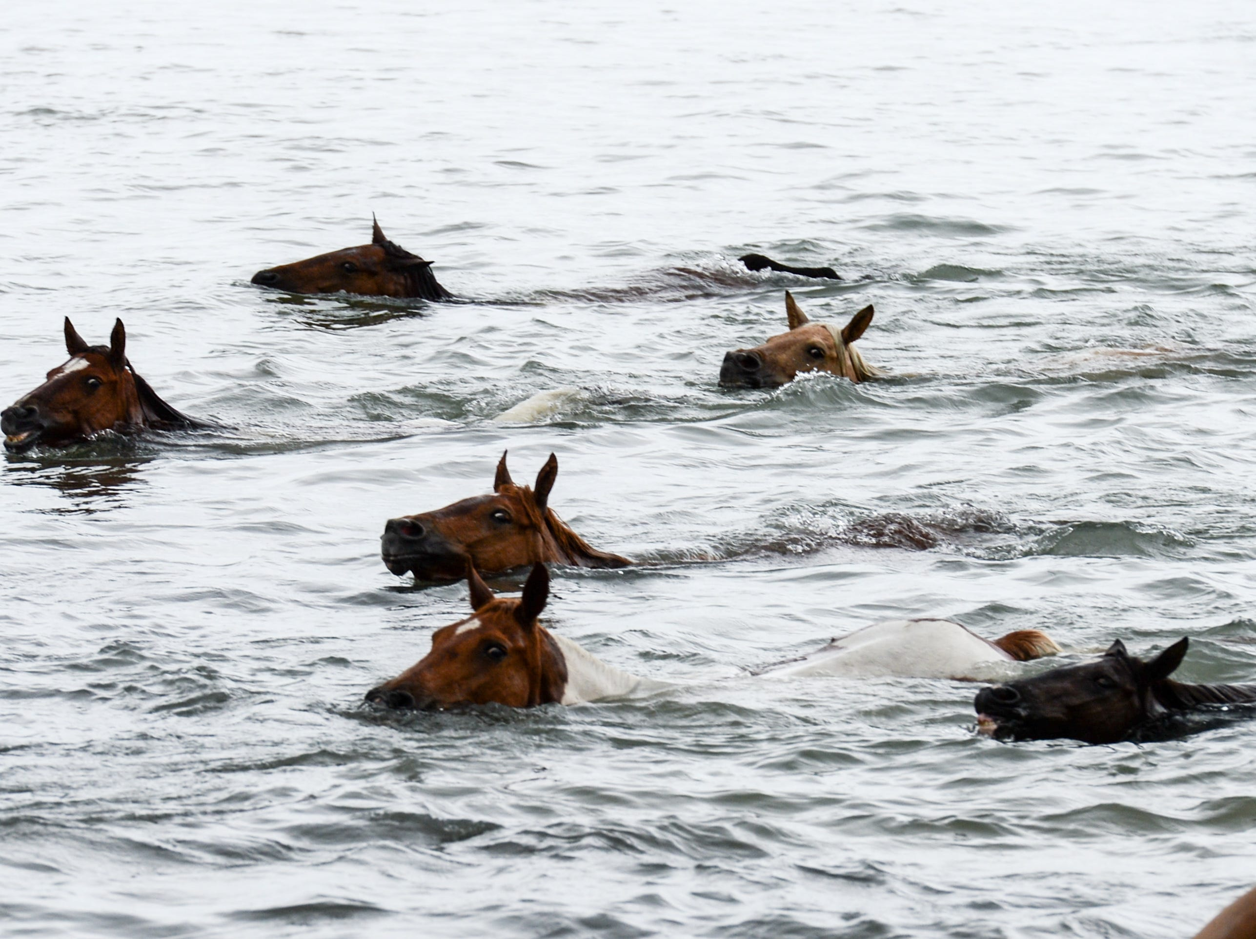 Ponies swim across the Assateague Channel at the 93rd pony swim in Chincoteague Island, Virginia on July 25.