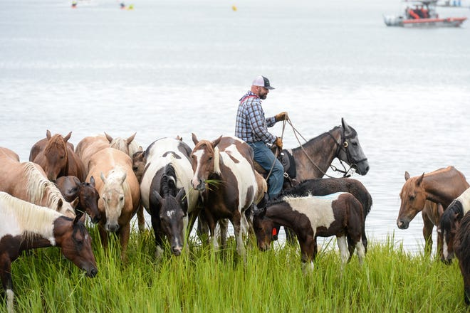 A Saltwater Cowboy corals the Assateague Island ponies July 25, 2018, after the 93rd annual pony swim across the Assateague Channel to in Chincoteague Island, Virginia, where some of the foals will be sold at auction the next day. The annual sale keeps the pony population on Assateague Island in balance with available food.