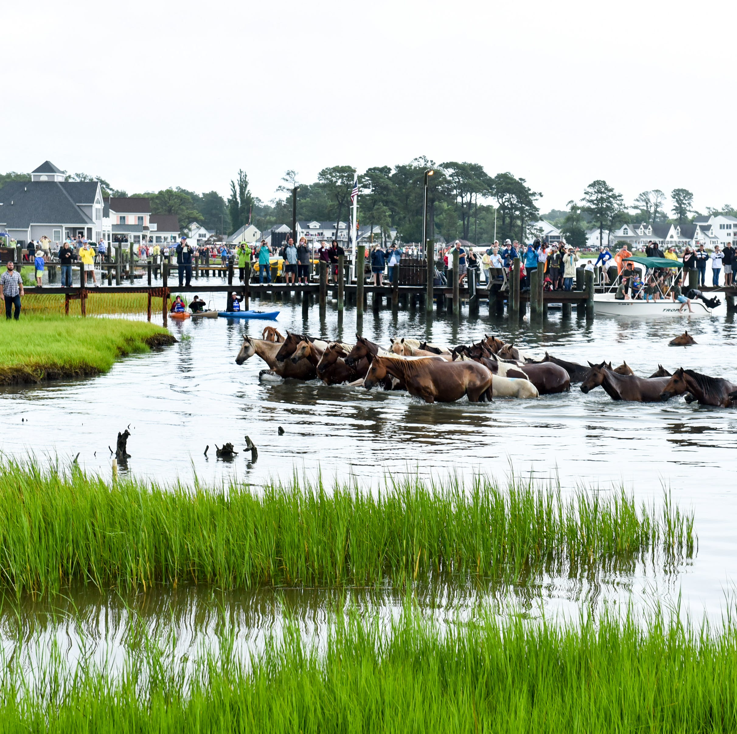 Third Chincoteague pony dies of swamp cancer; officials trying new treatments