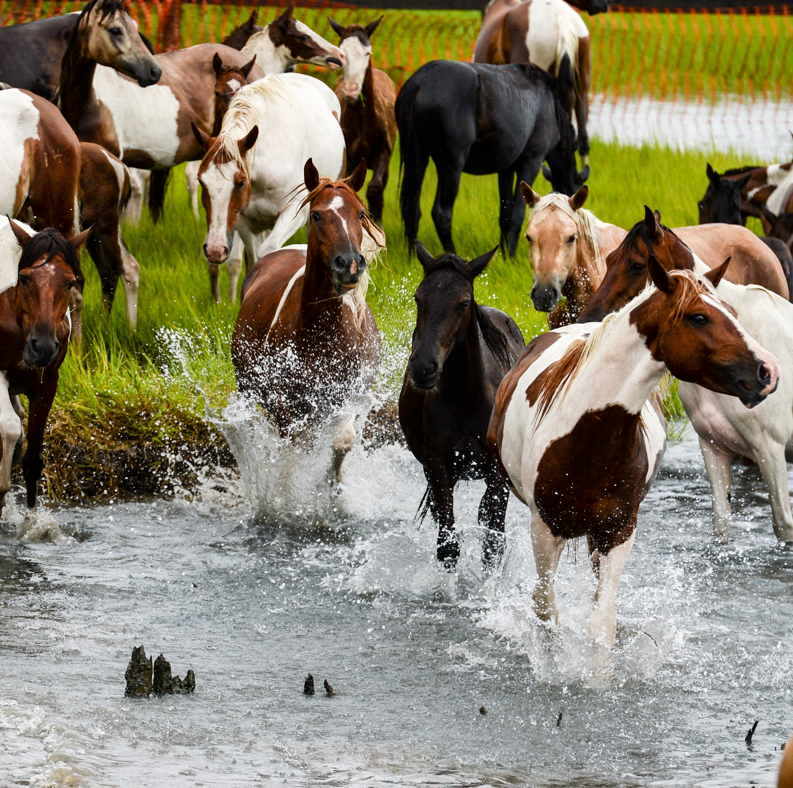 Swamp cancer: Chincoteague ponies get hope to stop spread of disease with vaccine