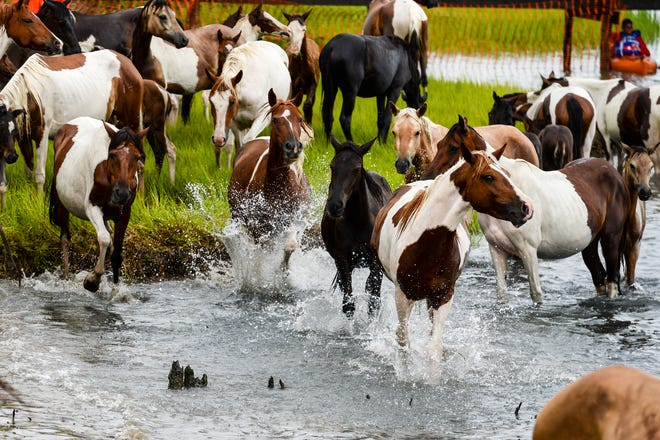 Ponies reach the shore of the Assateague Channel at the 93rd pony swim in Chincoteague Island, Virginia on July 25.