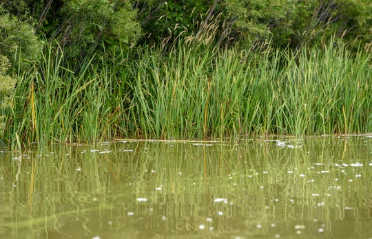 Shoreline vegetation is shown last summer along the shoreline of Little Rock Lake. A plan to lower the lake by 3 feet to improve water quality is expected to happen Aug. 1-Sept. 15, about a year later than originally planned.