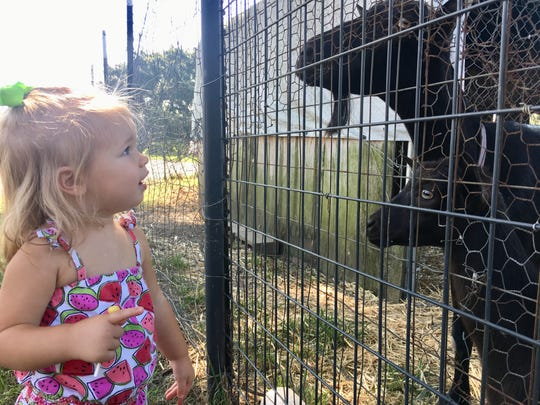 Marie Guidry, 1, looks at goats at Market Basket Youngsville July 26, 2018. She is visiting Acadiana farms with her family this month.