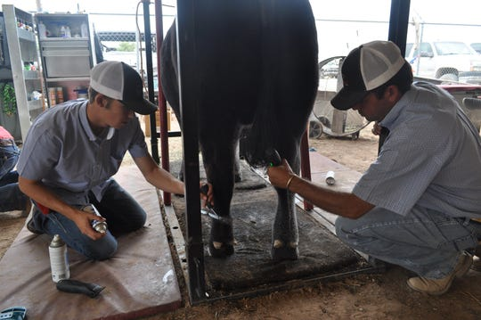 Grooming is part of the prep for the market steer show July 26 at the Eddy County Fair in Artesia.