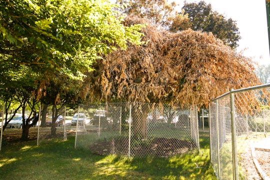 The leaves are brown and wilting July 26, 2018, on one of the four historic Camperdown elms transplanted at the Oregon State Capitol 15 months ago. Parks crews aerated the root ball and area around the tree and are monitoring the soil moisture levels.