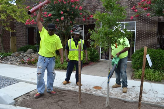 Workers with JND Landscaping in Princess Anne, from left, Ivan Miles, Ernest Jefferson and David Dixon, stake a new tree that was recently planted on Salisbury's Main Street.