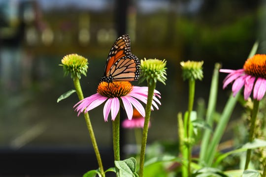 A monarch butterfly flutters through the pollination garden at the Blackwater National Wildlife Refuge in Cambridge, Marlyand on July 25.