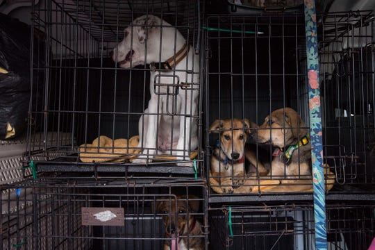 Dogs from the Corpus Christi Animal Control were loaded in to vans by Project Outbound to take them to Washington state to be adopted on Friday, July 27, 2018.