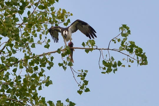 An osprey perches in a tree after successful fishing trip on the Missouri River, Friday.