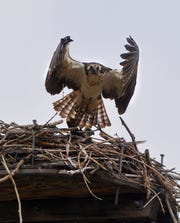 An osprey leaves its nest on the Missouri River, Friday afternoon.