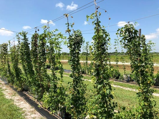 The University of Florida/IFAS Extension is working with the U.S. Department of Agriculture on demonstration project to grow hops.With craft brewing gaining popularity on the Treasure Coast and across the state, researchers think local brewers would be willing to try Florida hops in their small-batch brews they  are creating at local microbreweries.