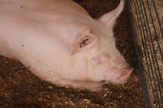 A swine hangs out in its pen, July 28, 2018 at the Eddy County Fair.
