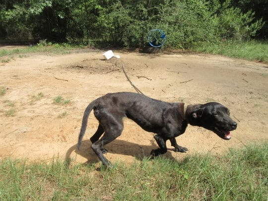 One of the malnourished dogs found at the DeSoto Parish residence.