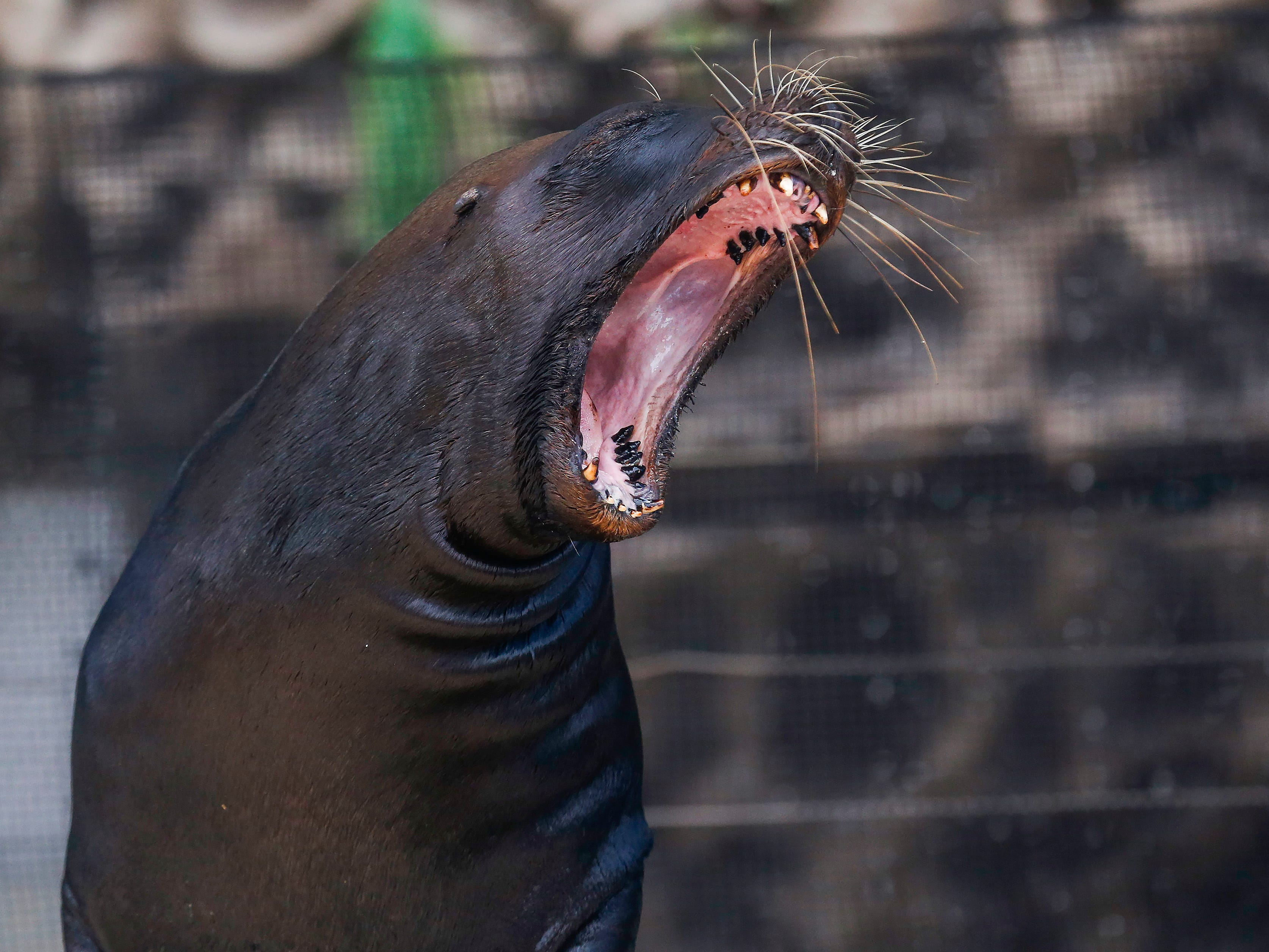 A sea lion yawns at the start of the Sea Lion Splash show at the Ozark Empire Fair on Saturday, July 28, 2018.