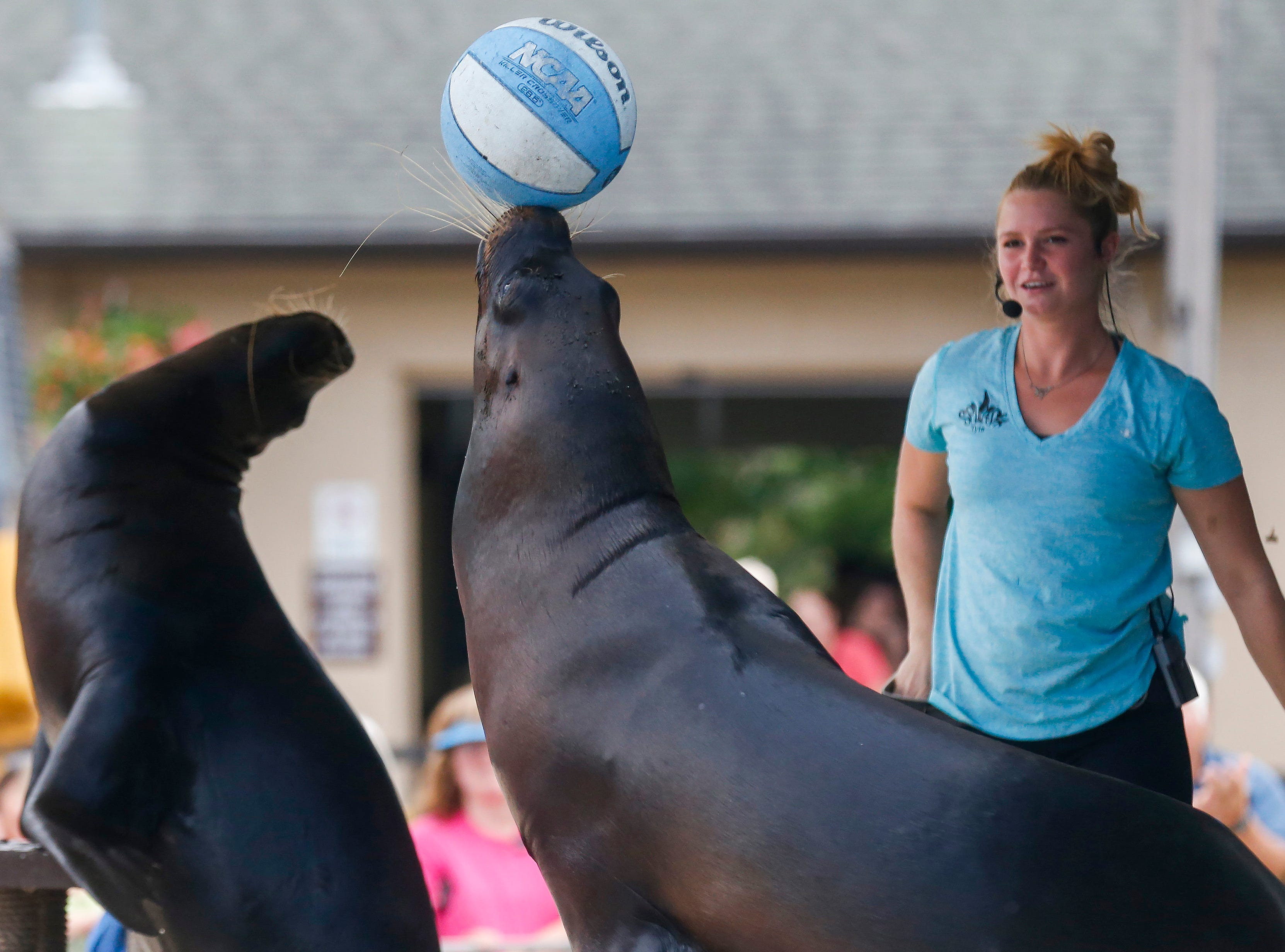 A sea lion balances a basketball on its nose during the Sea Lion Splash show at the Ozark Empire Fair on Saturday, July 28, 2018.