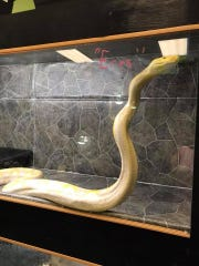 Eres, a 14-foot pet python got loose from her home.