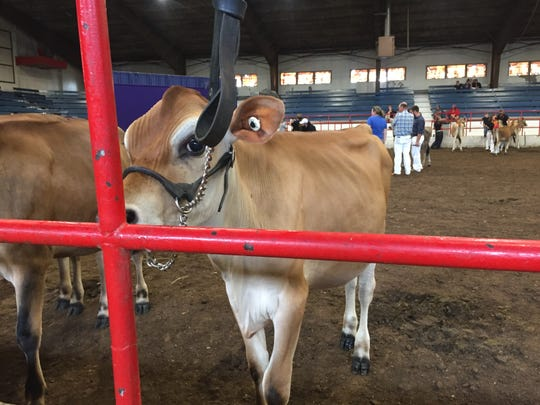 Sirlea waits in the arena before her competition at the Ozark Empire Fair.