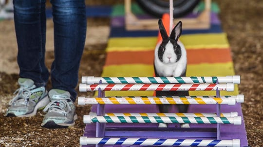 A rabbit leaps over an obstacle during the 4-H Rabbit Agility Show Saturday, July 28, 2018, at the Stearns County Fair in Sauk Centre.