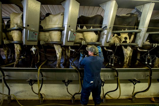 Leo Gálvez attaches milk claws to cow's udders before milking on Monday, July 30, 2018, at La Luna Dairy in Wellington, Colo.