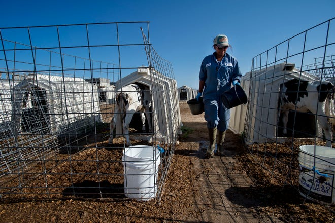 Imelda Perez feeds the two-month old calfs after overnight rainfall caused the area to become thick with mud on Monday, July 30, 2018, at La Luna Dairy in Wellington, Colo.