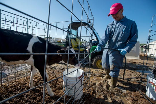 Guillermo Tremillo fills up a bucket of water for the two-month old calfs after overnight rainfall caused the area to become thick with mud on Monday, July 30, 2018, at La Luna Dairy in Wellington, Colo.