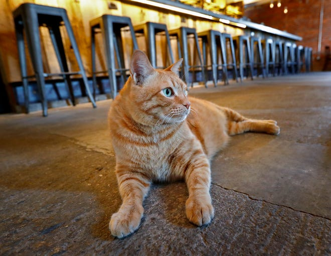 Fatty hangs out at Hotel Tango, Friday, July 27, 2018.   The artisan distillery is giving the 35-pound cat a temporary home for a friend of the owner.  The friend is currently deployed.  The legend is that the distillery's friend found Fatty in Okinawa, eating pizza out of a trash can.  The legend continues saying that an alligator bit off the tip of his tail.