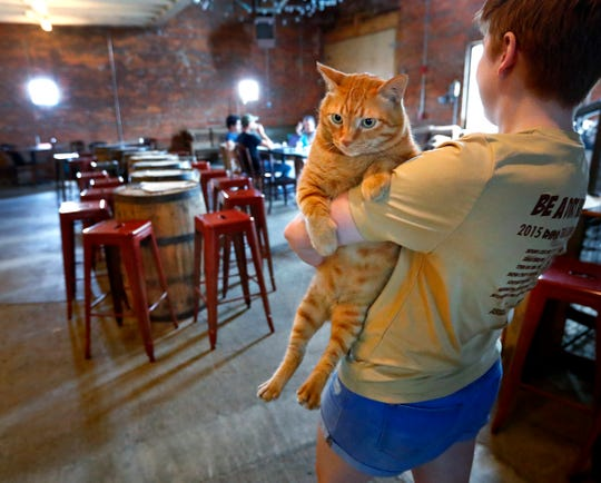 """Katie Breden walks with Fatty at Hotel Tango, Friday, July 27, 2018.   The artisan distillery is giving the 35-pound cat a temporary home for a friend of the owner.  The friend is currently deployed.  The legend is that the distillery's friend found Fatty in Okinawa, eating pizza out of a trash can.  The legend continues saying that an alligator bit off the tip of his tail.  Breden says the Fatty is """"fiercely and aggressively loving."""""""