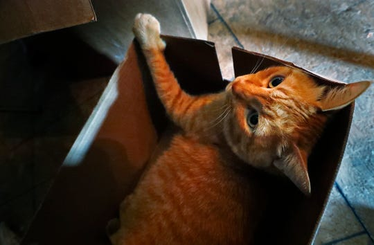 Fatty finds a great box to try out, at Hotel Tango, Friday, July 27, 2018.   The artisan distillery is giving the 35-pound cat a temporary home for a friend of the owner.  The friend is currently deployed.  The legend is that the distillery's friend found Fatty in Okinawa, eating pizza out of a trash can.  The legend continues saying that an alligator bit off the tip of his tail.