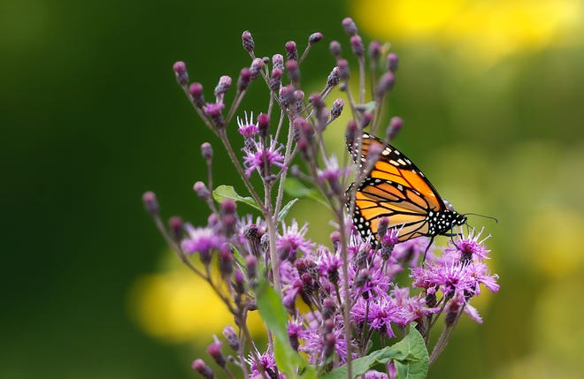 A Monarch butterfly uses its proboscis to suck nectar from a flower Monday, July 29, 2018, at Celery Bog in West Lafayette.