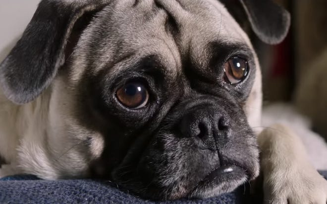 "Who needs movie stars when you've got pugs? ""Dog Days"" opens  Wednesday."