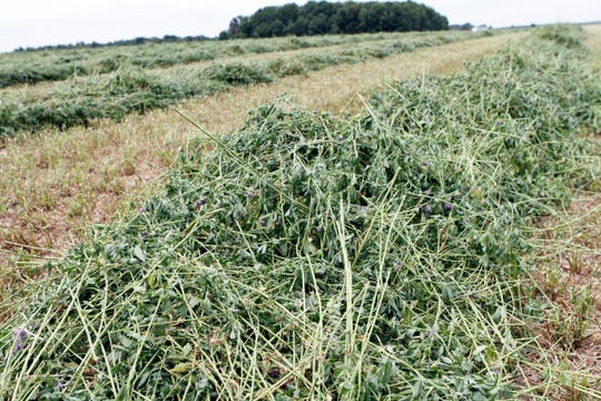 The new era of alfalfa varieties, which includes high digestibility alfalfa, is going to be a game changer for farmers.