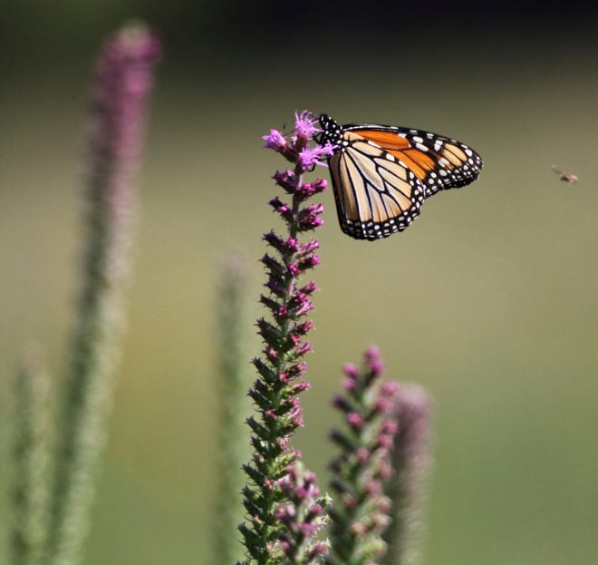 In this July 10, 2018 photo, A monarch butterfly lights atop a blazing star at Jim Barker's farm  in rural in McLeansboro, Ill. Barker has planted tracts of prairie grasses and flowers at his farm, rather than planting set-aside land in fescue. In doing so, Barker has transformed his property into small patches of prairie that resemble what Hamilton County would have looked like before modern agriculture.