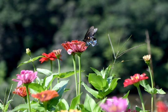 A butterfly perches on a zinnia in a patch at the Wildcat Ridge Farm, home of the Yin Yurt, an AirBnB rental on Ricardo Fernandez's property in Clyde. Fernandez grows peonies and figs on the property.