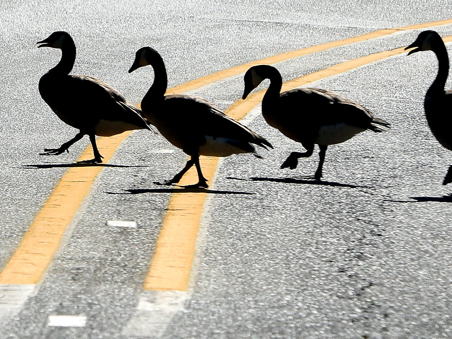 A flock of Canada geese are silhouetted against the pavement as they cross in Scandia Road in Poulsbo on a sunny Thursday, July 26, 2018.