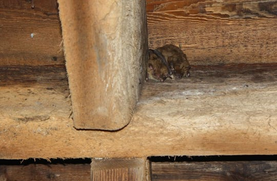 Some bats roost in buildings in the summertime. A woman who took a bat home from a Salem County Acme could be at risk for rabies, warn local health officials.