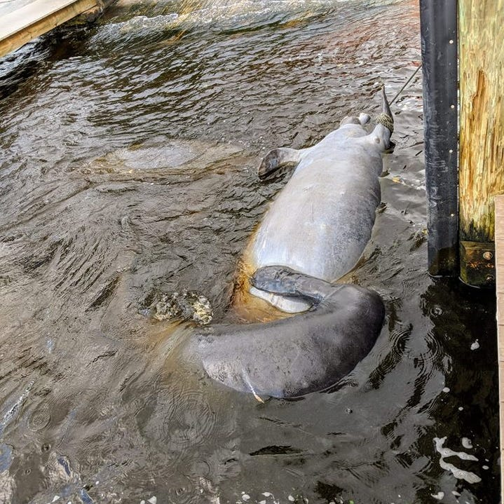 Video: Dead manatee tied up outside Cape Coral Yacht Club