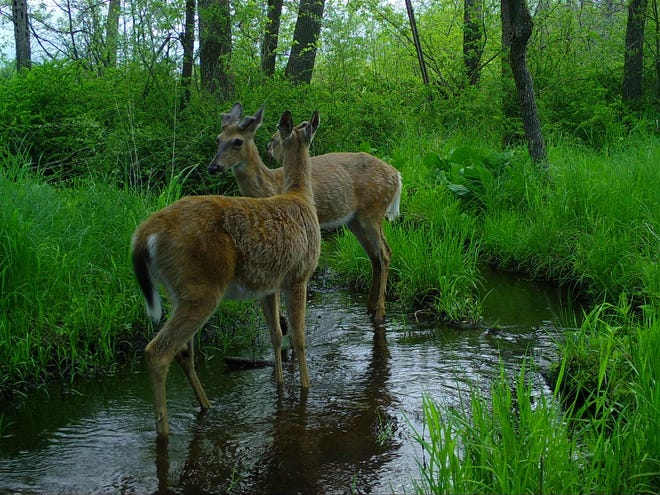 White-tail deer. This photo and the others in this gallery are from Snapshot Wisconsin, a citizen-science effort coordinated by the Department of Natural Resources to monitor wildlife and information wildlife management in the state. Read more about the project at https://jsonl.in/2J1VJGZ.