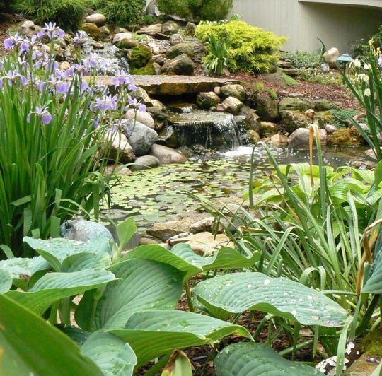 Blue Water Iris is a good pond plant, producing lovely flowers in May and June.