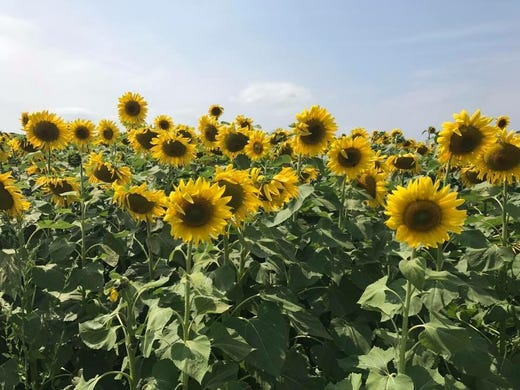 leatherberry acres in baraboo has a sunflower maze