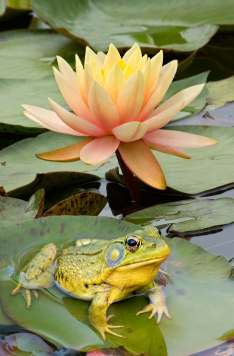 waterfeat12-Water Lily with Frog for sidebar