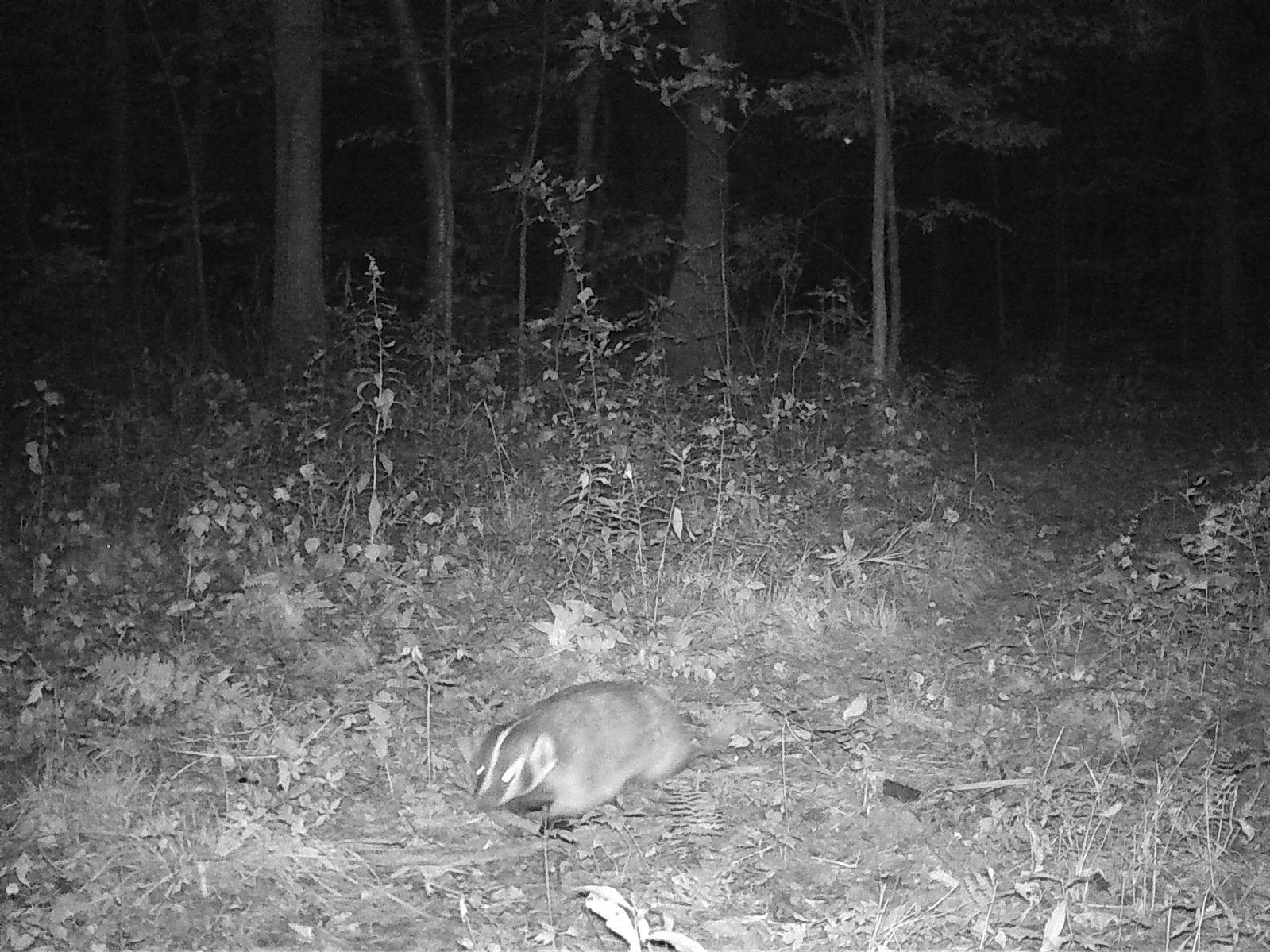 Badger.