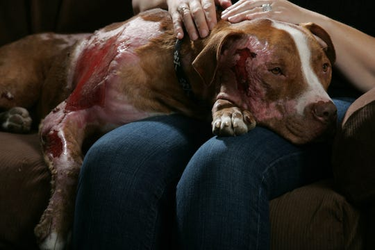 Judge, a pit bull who survived a house fire lays on owner Symone Negrini's lap in Riverdale in 2009. She and her family lost their home and nine of 11 rescue animals.  Judge, who survived with burns over 40 percent of his body, required expensive medical procedures and the community answered the call.