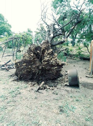 A large tree on 2nd Street in the Village of Loving was overturned Monday following gusting winds and heavy rains.