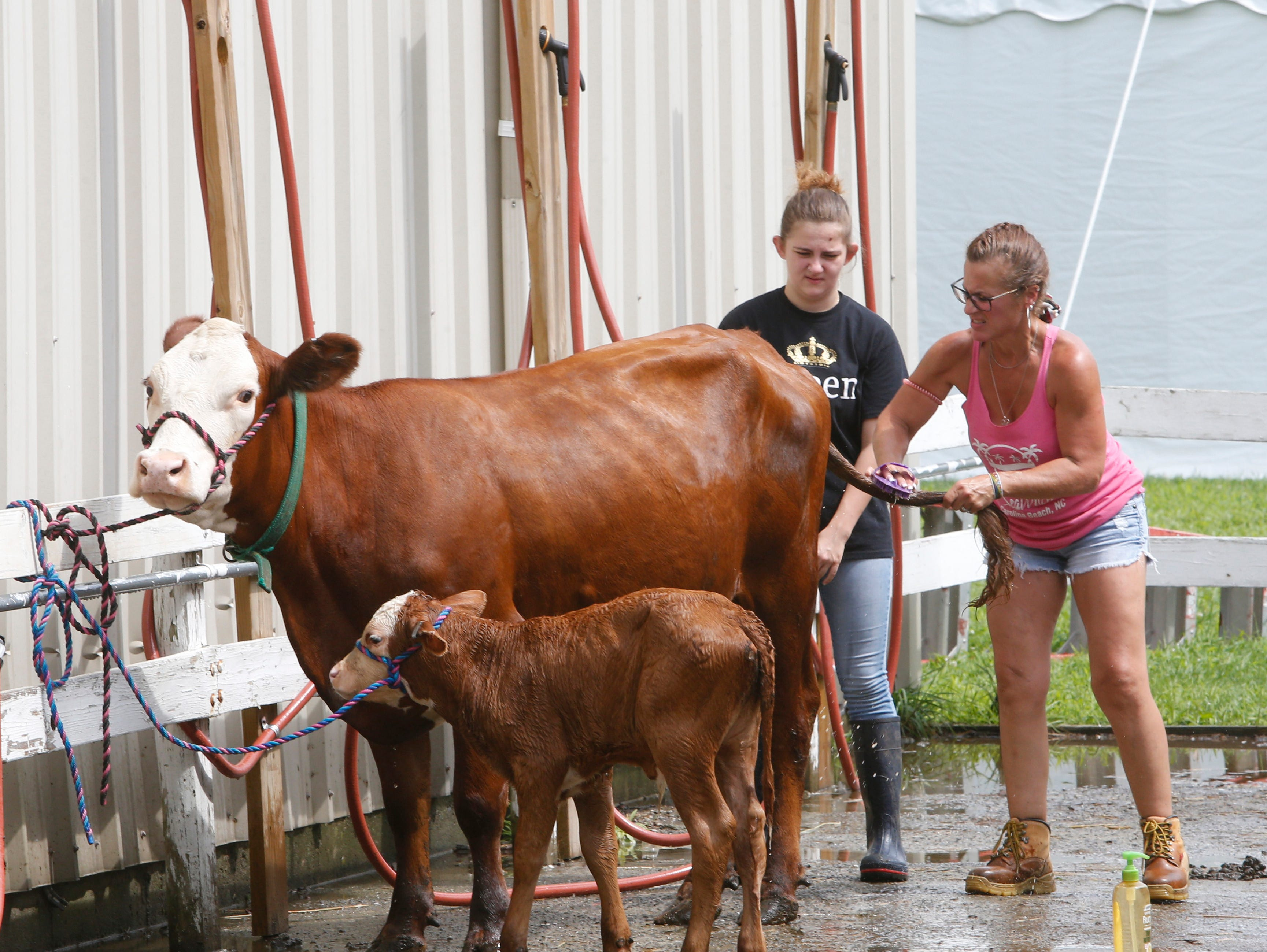 From left, Jessica Amato of Saugerties and Kathaleen Woolsey of New Paltz clean a cow and her calf during the Ulster County Fair in New Paltz on July 31, 2018.