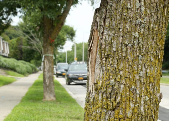 Ash trees on Rinaldi Boulevard in the City of Poughkeepsie on July 31, 2018. Many of the ash trees in the region have been damaged or killed due to the emerald ash borer, an invasive species of insect.