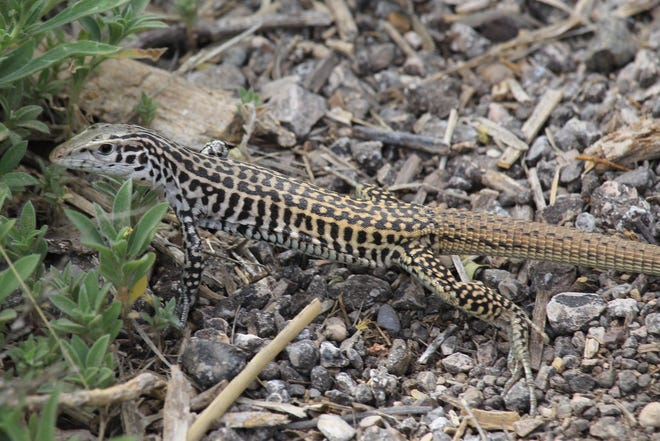 The Checkered Whiptail (Aspidoscelis tessellata) is a rather large and fairly common lizard in parts of Texas