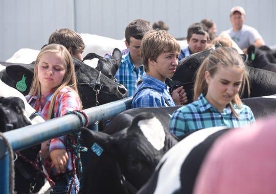 4-Hers prepare for cattle show competition Tuesday, July 31, at the Benton County Fair in Sauk Rapids.