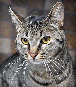 Bentley is a 1-year-old, gray tabby, neutered male domestic short-haired cat. He is playful, has a sweet disposition and is available for adoption at the Wichita Falls Animal Services Center.